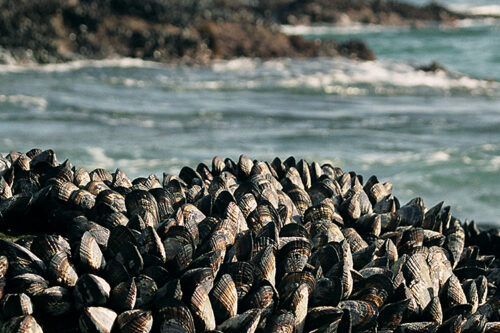 Shellfish inspire chemists to develop new stronger, more sustainable adhesives