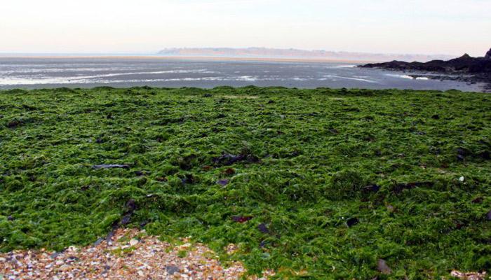 Les algues vertes sont de plus en plus nombreuses sur les côtes bretonnes (crédits photo : Reporterre)